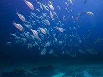 Schule der Steckfassungsfische Stockfoto