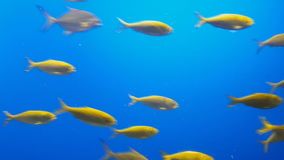 Schule der tropischen Fische stock video footage