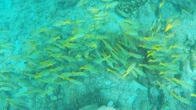 Schule des blau-gestreiften Rotbarschs an isla floreana in den Galapagos stock video