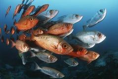 Schule des Mosambik-Indischen Ozeans von Halbmondendstückgroßaugen (Priacanthus hamrur) Lizenzfreie Stockfotos
