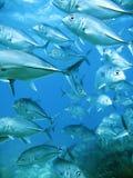 Schule des Thunfischs Stockfotos