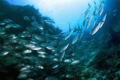 Schule des Thunfischs Lizenzfreies Stockfoto