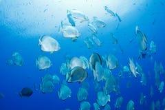 Schule von Batfish Lizenzfreies Stockfoto