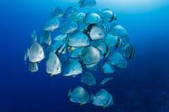Schule von Batfish Stockfotos