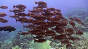 Schule von blauen Fischen im sauberen Seeriff stock video footage
