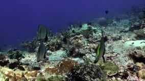 Schule von blauen Fischen im sauberen Seeriff stock footage