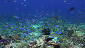 Schule von blauen Fischen im sauberen Seeriff stock video