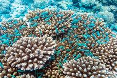 Schule von blauen Fischen nähern sich Acroporakoralle, Malediven Lizenzfreie Stockfotografie