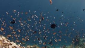 Schule von Chromis-Maid, Chromis SP, schwimmend im Korallenriff des Th stock video footage