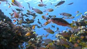 Schule von Fische Vanikoro-Kehrmaschine schwimmt nahe Korallenriff im Roten Meer Egypt Stockbilder