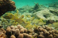 Schule von gelben französischen Grunzen-Fischen stockfotografie