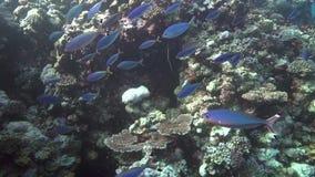Schule von gelben und blaurückigen fusilier Caesio-teres und von Riemen-Kiefer Wrasse Epibulus-insidiator in der Koralle von Rote stock footage
