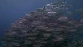 Schule von Großauge trevallies auf einem Korallenriff stock video