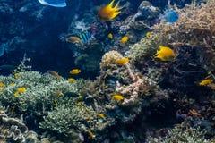 Schule von korallenroten Fischen in einem flachen Korallenriff stockbild