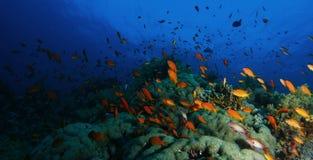 Schule von Meer-goldie Fischen schwimmen über dem korallenroten Garten in einem dramat lizenzfreies stockfoto