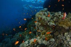 Schule von Meer-goldie Fischen schwimmen über dem korallenroten Garten in Haifischen r lizenzfreies stockbild