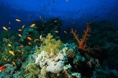 Schule von Meer-goldie Fischen schwimmen über den harten und weichen Korallen herein stockbilder