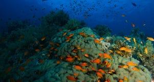 Schule von Meer-goldie Fischen schwimmen innerhalb des korallenroten Gartens in einem Dram stockbild