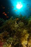 Schule von Meer-goldie Schwimmen über dem grünen weichen corall in Ras Moha lizenzfreies stockfoto