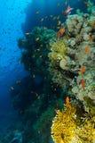Schule von Meer-goldie Schwimmen nahe der korallenroten Wand in Ras Mohammed-Na stockbilder