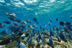 Schule von Paletten-Doktorfisch-Fischen, Acanthuruscoeruleus, schwimmend auf dem Korallenriff Stockbilder
