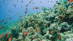 Schule von tropischen Fischen in einem bunten Korallenriff mit Wasser tauchen in Hintergrund, Rotes Meer, Ägypten auf stock footage