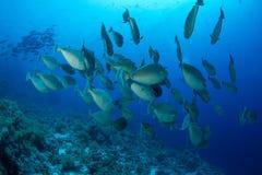 Schule von unicornfish Stockbild