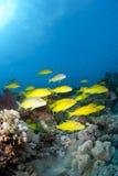 Schule von Yellowsaddle Goatfish, schwimmend. lizenzfreie stockfotos