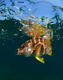 Schulleiter-Rotbarsch Unterwasser Lizenzfreies Stockbild