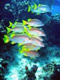 Schulleiterfischschwimmen Stockfotografie