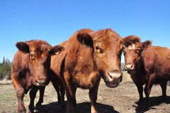 Schultz Cows Photo -  3 royalty free stock photo