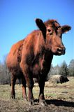 Schultz Cows Photo  royalty free stock photos