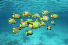 Schulung des bunten tropischen Fischköniginengelhais Stockfotografie