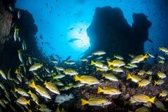 Schulung des Rotbarschs und des Rocky Reefs Stockfotografie