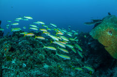 Schulung narrowstripe von fusilier Schwimmen in Gili, Lombok, Nusa Tenggara Barat, Indonesien-Unterwasserfoto Stockbilder