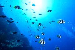 Schulung von Bannerfish stockfoto