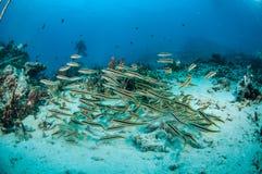 Schulung von Blennies Pholidichthys-leucotaenia in Gili, Lombok, Nusa Tenggar Barat, Indonesien-Unterwasserfoto Lizenzfreies Stockbild