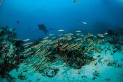 Schulung von Blennies Pholidichthys-leucotaenia in Gili, Lombok, Nusa Tenggar Barat, Indonesien-Unterwasserfoto Stockbilder