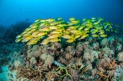 Schulung von bluestripe Rotbarsch Lutjanus kasmira in Gili, Lombok, Nusa Tenggara Barat, Indonesien-Unterwasserfoto Stockbilder