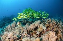 Schulung von bluestripe Rotbarsch Lutjanus kasmira in Gili, Lombok, Nusa Tenggara Barat, Indonesien-Unterwasserfoto Lizenzfreies Stockbild
