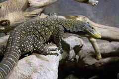 Schuppige Savanne Komodo Indonesien Reptilien der Eidechse Lizenzfreie Stockfotos