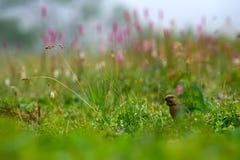 Schur foraging in the grass. Pinicola enucleator. Lat. Pinicola enucleator. Schur collecting grain in the grass Stock Photos