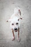 Schurft witte hond Stock Foto