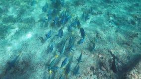 Schuss des hohen Winkels einer Schule des gelb-angebundenen Surgeonfish an isla espanola stock video footage