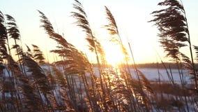 Schuss des Sonnenuntergangs durch wildes Feld des Grases stock video