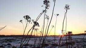 Schuss des Sonnenuntergangs durch wildes Feld des Grases stock video footage