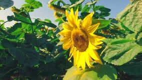 Schusslandschaft mit Sonnenblume stock footage