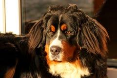 Schutz des Bernen Sennenhunds Stockbilder