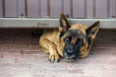 Schutz Dog Lizenzfreie Stockbilder
