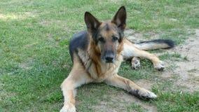 Schutz Dog Stockfoto